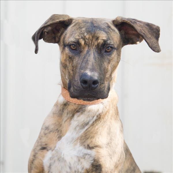 Robson Great Dane X Bull Arab Great Dane Rescue Dogs Pets