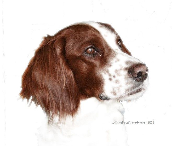 Portrait of a Red and White Setter