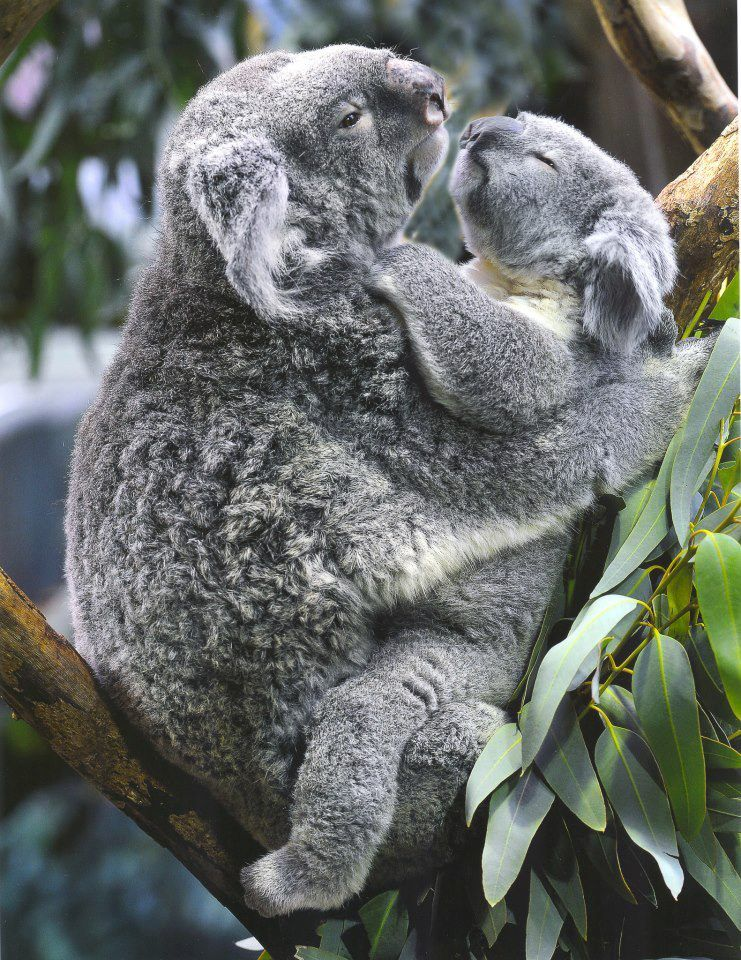 Koalas Enjoy Each Other S Hug Cute Animals Cute Baby Animals Baby Animals