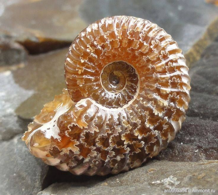 Ammonite from the Caucasus Mountains