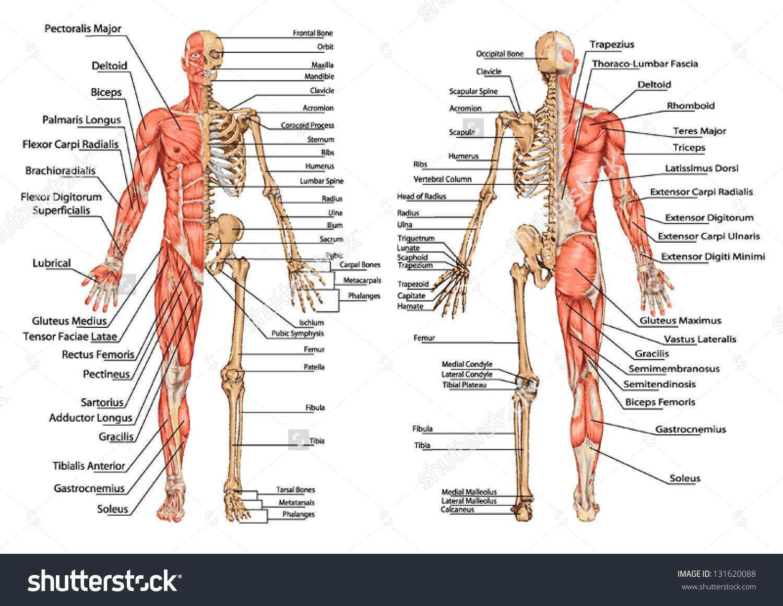 pin by shabnam bagheri on superprosthetics | pinterest | anatomy, Skeleton