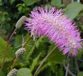 02732cfb4ee1 Sanguisorba hakusanensis   2017 plant orders   Pinterest   Plants