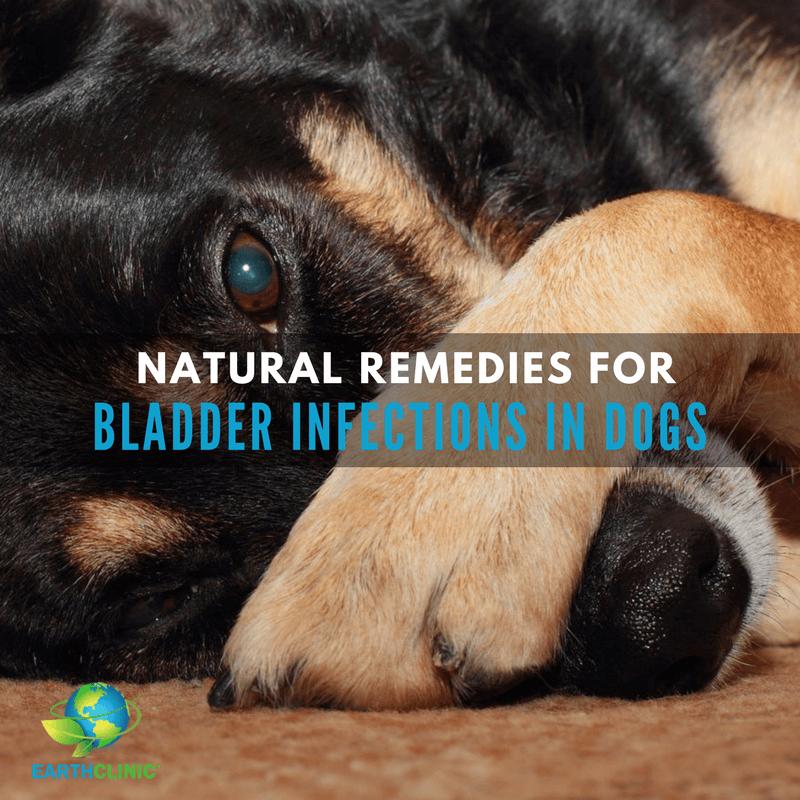 Bladder Infection Remedies For Dogs Bladder Infection Remedies Bladder Infection In Dogs Bladder