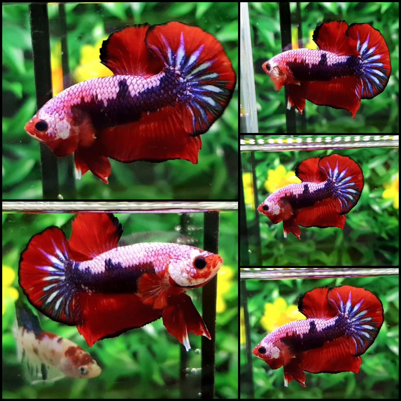 Fancy Male | Beautiful Betta Fish | Pinterest | Fancy, Betta and ...