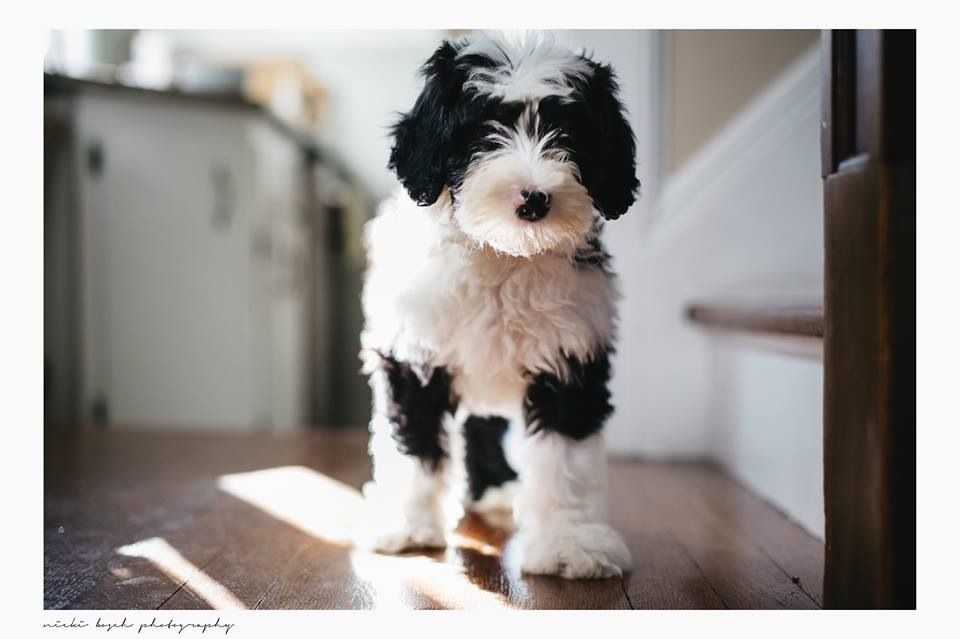 breed - mini Sheepadoodle | dog | Sheepadoodle puppy, Dogs, Puppy treats