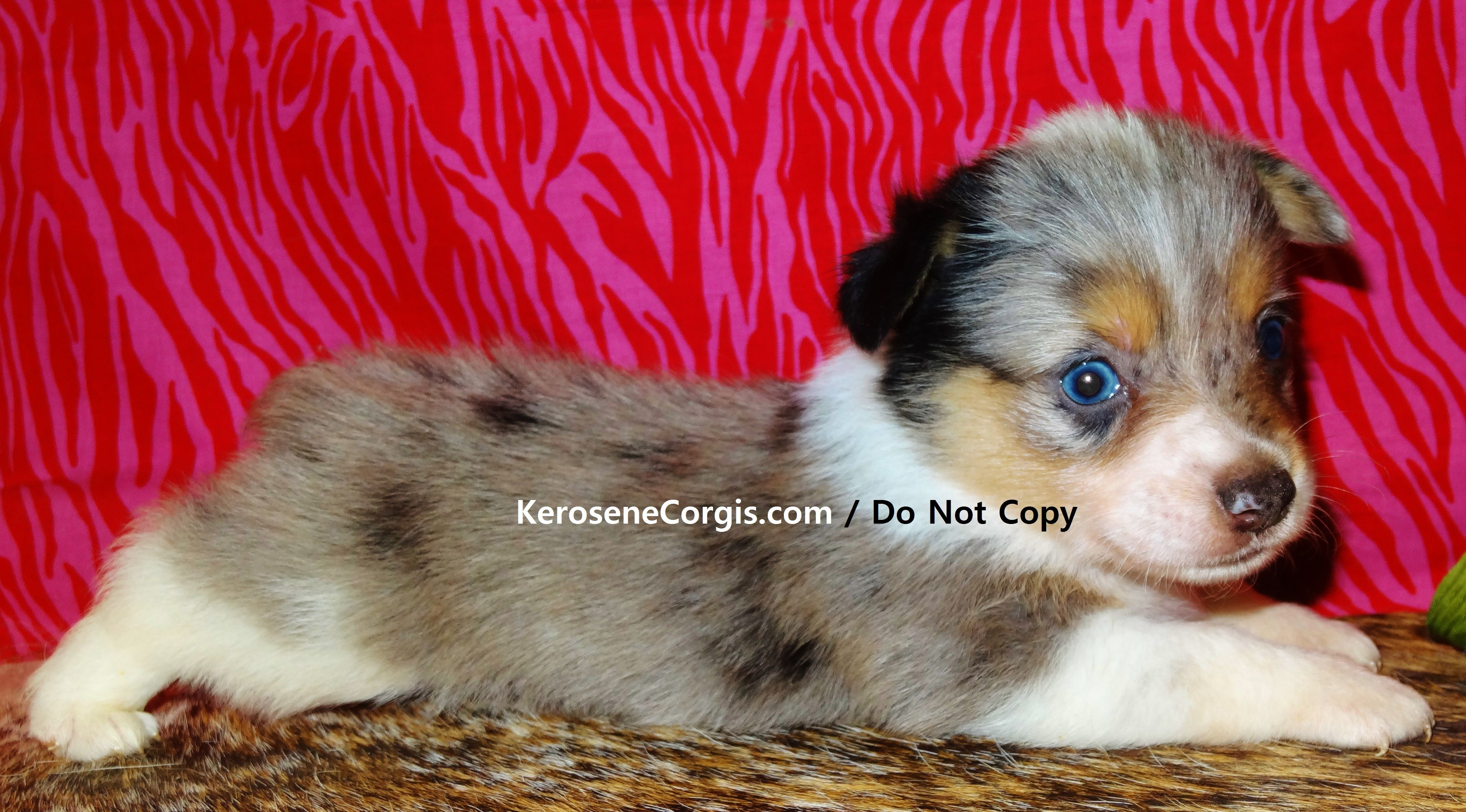 Sully & Hoss the Blue Merle Welsh puppies. (Augie)