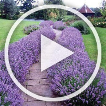 Lavender Hidcote is a drought proof evergreen perennial Lavender Hidcote is a drought proof evergreen perennial Lavender Hidcote is a drought proof evergreen perennial