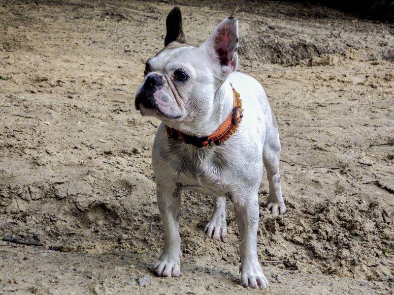 The Most Popular Dog Breeds In America Met Afbeeldingen