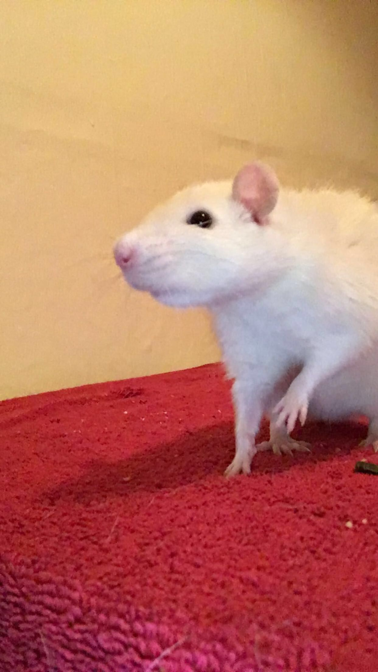 Adorable Mice And Rats おしゃれまとめの人気アイデア Pinterest Neil Rasmussen ラット