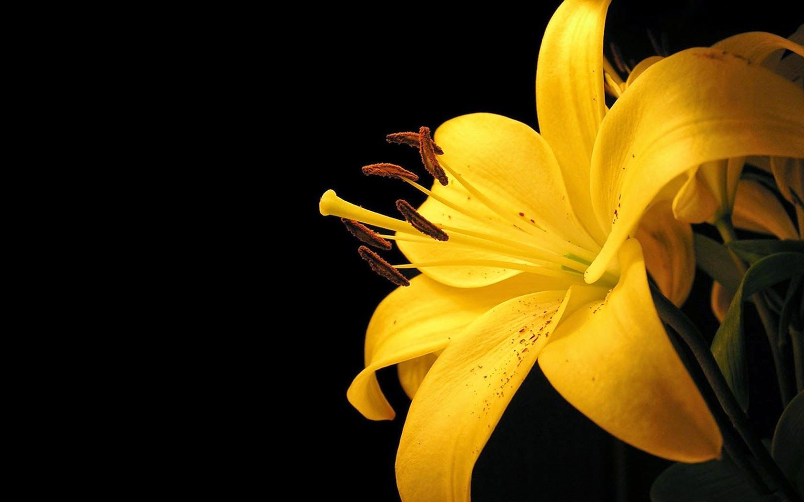 Picture Of Yellow Lily Flower Hd Pictures Yellow Flower Wallpaper Yellow Lillies Lily Wallpaper Coolest lily flower wallpaper images