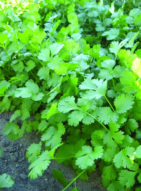 Fresh Green Cilantro At Home Fresh Coriander At Rooftop Mg Pflanzen