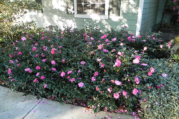 Shi Shi Gashira Camellia, horizontal branching, evergreen ...
