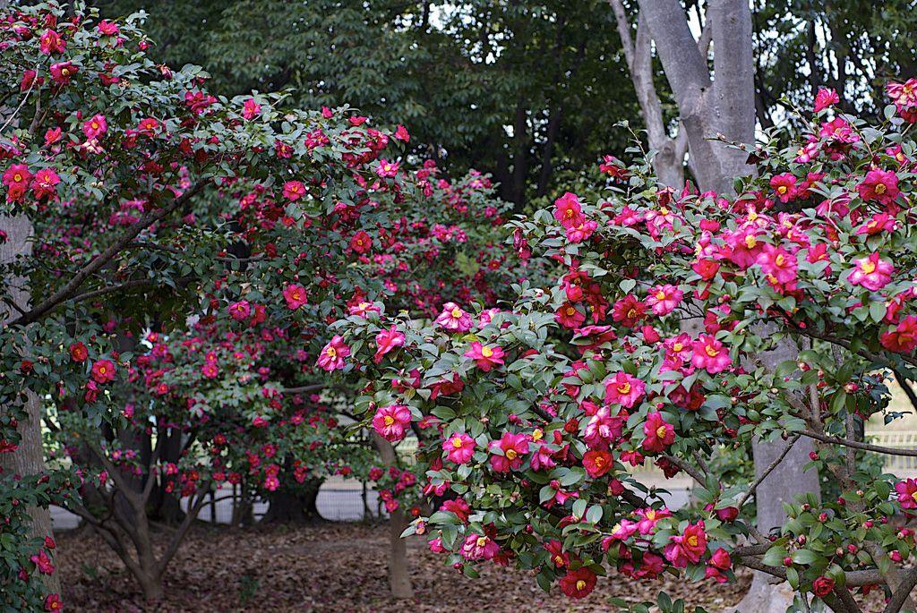 Камелия цветок уличный фото