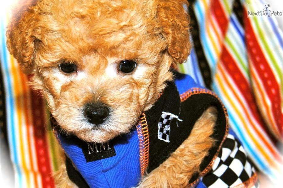 NOAH Maltipoo Puppy for sale in Dallas TX area Male