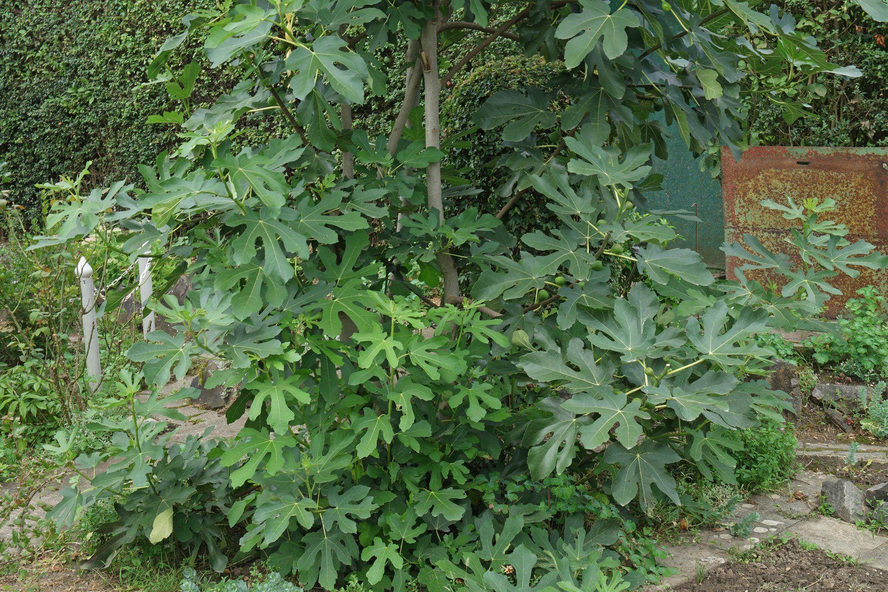 Pin Von Karmen Bahor Auf Fige Baum Feigenbaum Feigenbaum Pflege Feigen