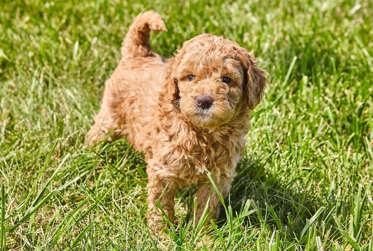 79 Full Grown Dachshund And Poodle Mix In 2020 With Images