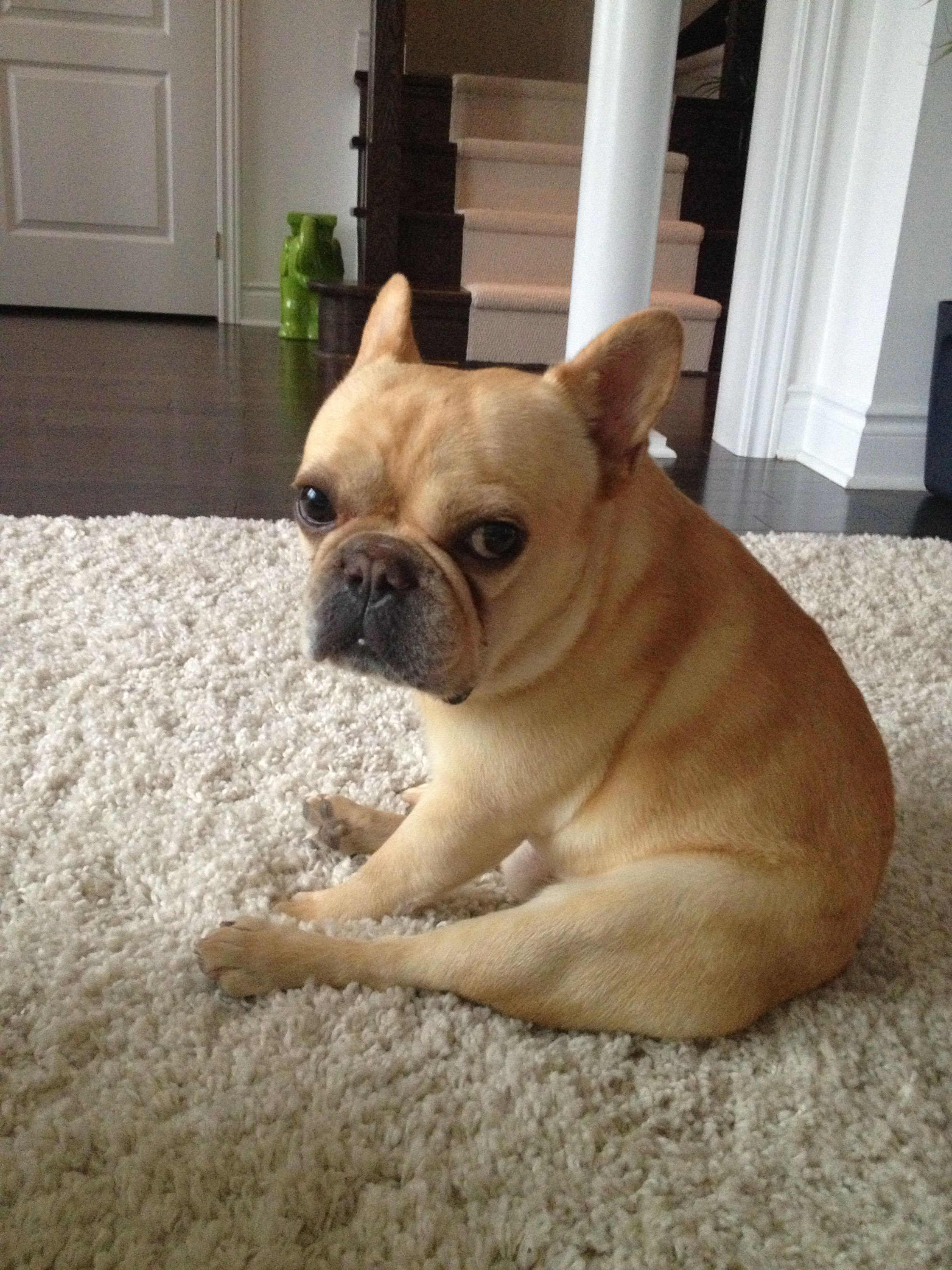 Typical French Bulldog Expression And Sitting Position Baby Dogs Cuddly Animals Cute Animals