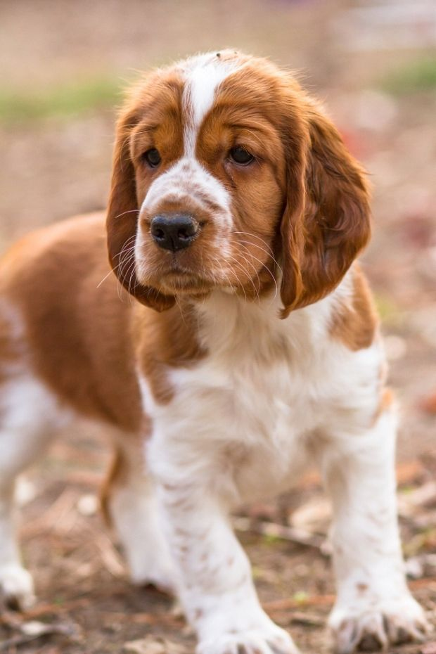 Welsh Springer Spaniel Puppy By Mary Maier Photography Welsh