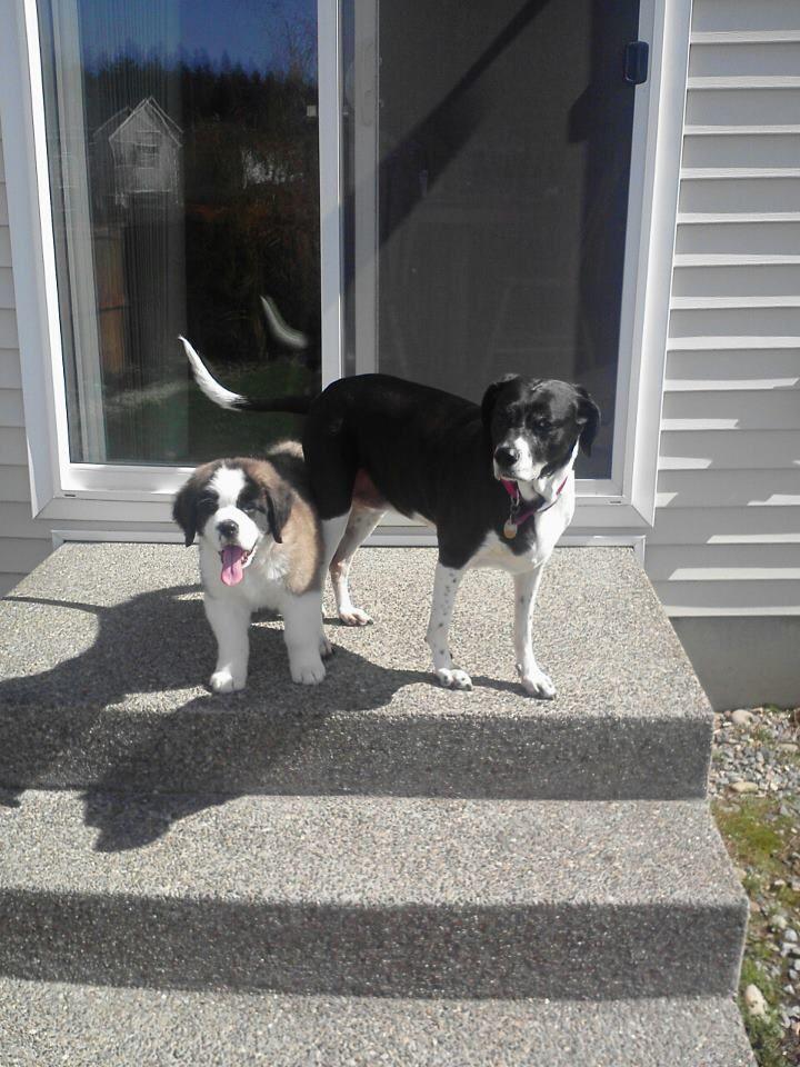 Here Are My Pups Ava Beagle Pointer Mix And Beasley Saint Bernard Saint Bernard Boston Terrier Pets