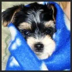 Morkie Puppies Pictures Galore Including Images And Slides Of Our