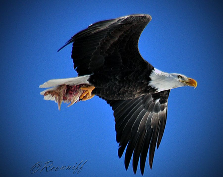 Eagle flying with food in it's talons