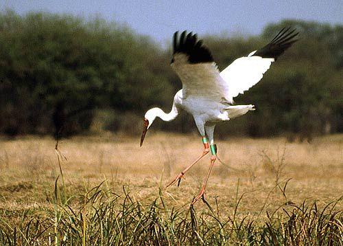 Keoladeo Ghana National Park Or Is A Por Avifauna Sanctuary Bird
