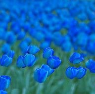 tulipes ... bleues ! superbes !!!