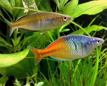 Female And Male Boeseman S Rainbowfish Melanotaenia Boesemani