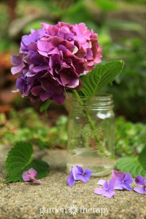 The easy way to dry hydrangea flowers to keep color