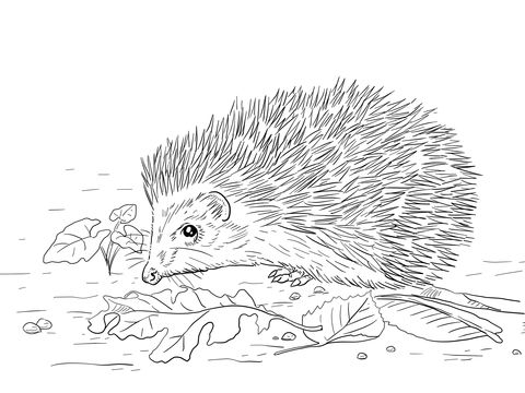 East European Hedgehog Coloring Page Hedgehog Colors Free
