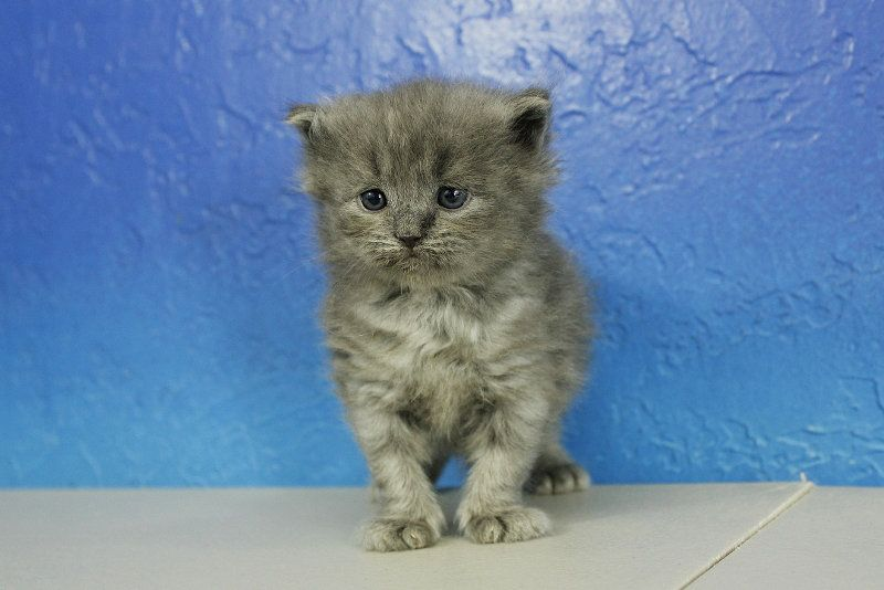 Teacup Persian Kittens For Sale In Michigan Persian Kittens Teacup Persian Kittens Kitten For Sale