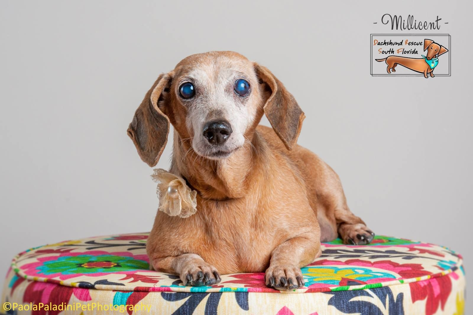 Dachshund dog for Adoption in Weston, FL. ADN402721 on