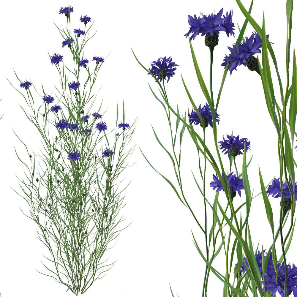 3D model PBR knapweed flower CGTrader