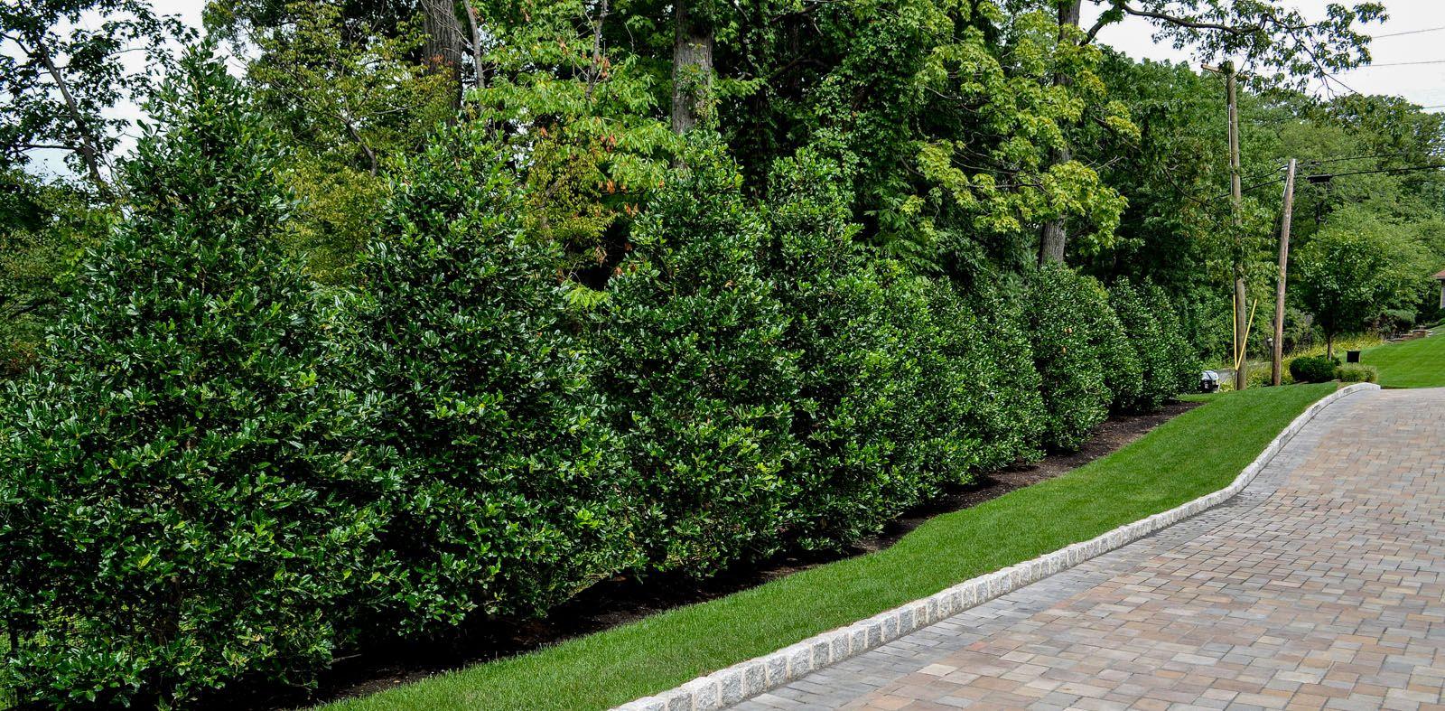 Ornamental plantings archives clc landscape design for Landscape design for privacy