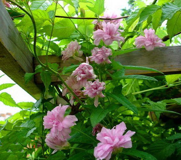 Zjawiskowe Pnacze Kielisznik Multiplex Duze Okazy 7482837228 Allegro Pl Wiecej Niz Aukcje Plants Garden