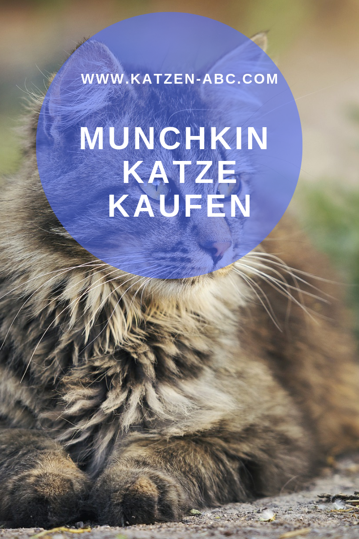 Eine Munchkin Katze Kaufen Allgemeine Informationen Katzen Kaufen Katzen Katzen Rassen