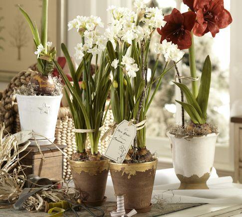 Day 27: Spa Advent Calendar Gift: Paperwhite bulbs! Pretty & pungent @PotteryBarn