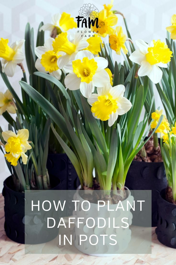Tulips And Daffodils Can Be Planted In Pots It Is Important That The Pot Is Deep Enough And There Is Daffodils Planting Planting Daffodil Bulbs Planting Bulbs