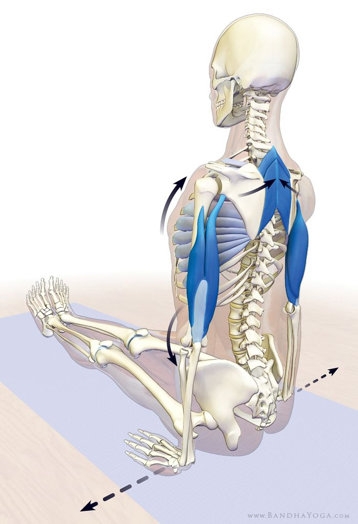 accessory muscles of breathing in dandasana | ANATOMOFISIOLOGÍA DEL ...