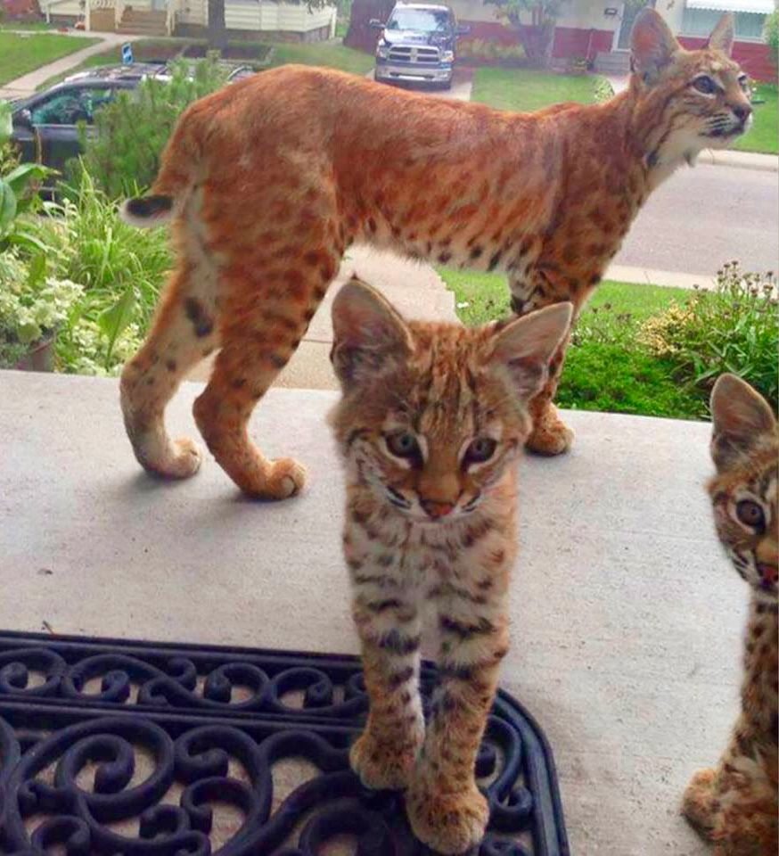 Family Of Bobcats In Canada S Suburbs Baby Bobcat Kittens