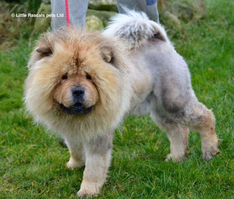 Samou Our Chow Chow Pedigree Puppies For Sale Puppies Dog