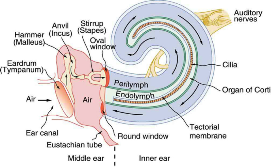 Cochlea - Wikipedia, the free encyclopedia | Soundroom | Pinterest
