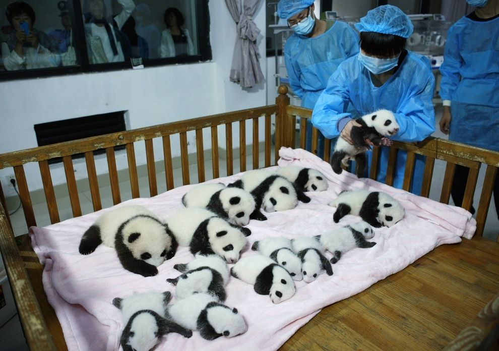 THESE ARE REAL. THESE ARE NOT FAKE PANDAS. THEY ARE REAL