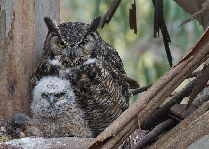 After lunch; the bundle at the left of the owlet is leftovers from another meal