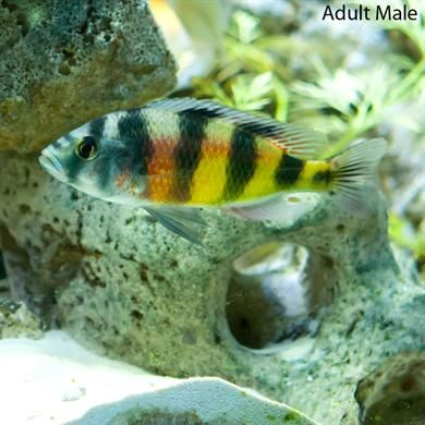 Zebra Obliquidens Cichlids African Cichlids Fish Pet