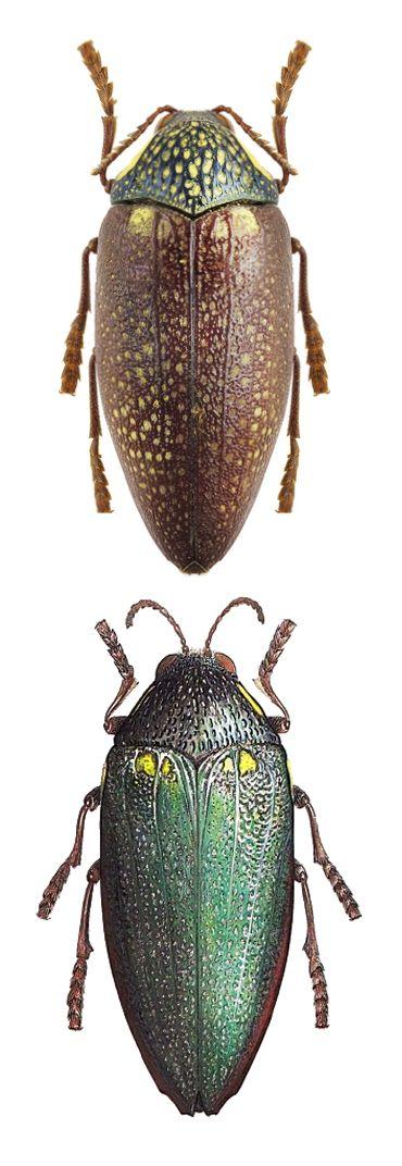 Sternocera syriaca