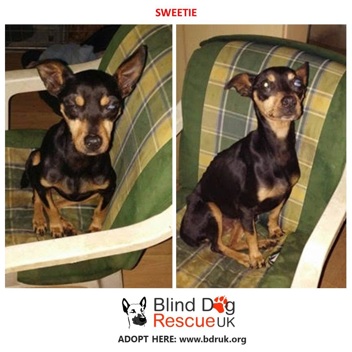 Sweetie Is A Blind Miniature Pincher Cross Who Was Rescued From The Pound She Is Young Very Friendly And Social And Needs Dog Rescue Uk Dog Adoption Blind Dog