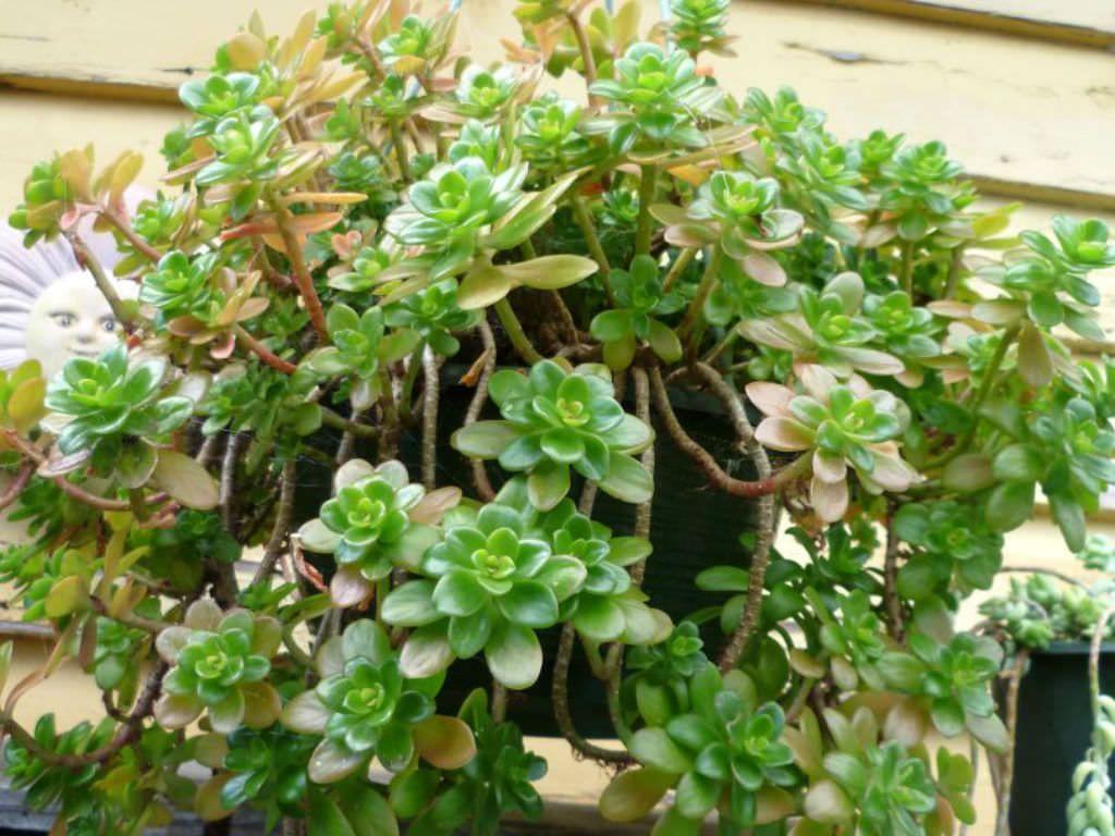 Sedum Confusum Plantes Sauvages Cactus Plante Et Plantes De Cactus