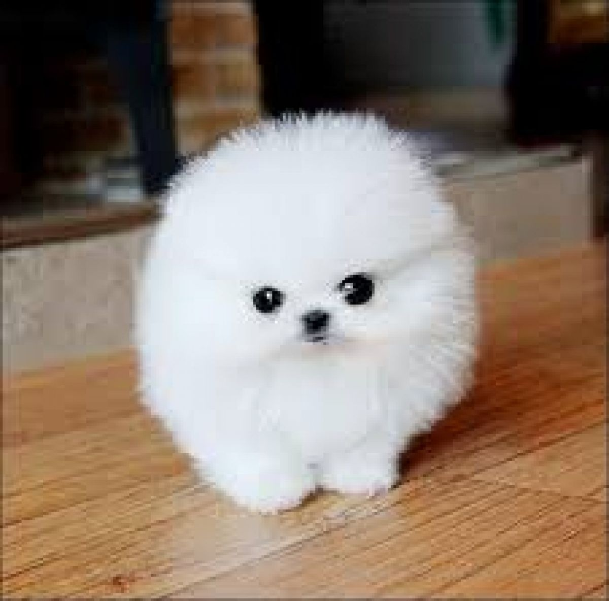 Cute Baby Teacup Pomeranians Pomeranian Puppies Dogs For