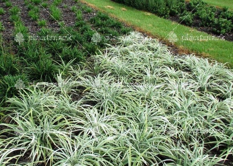 Liriope Stripey White 100mm Landscape Landscaping Plants Plants